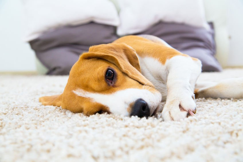 Maintaining your carpet with pets